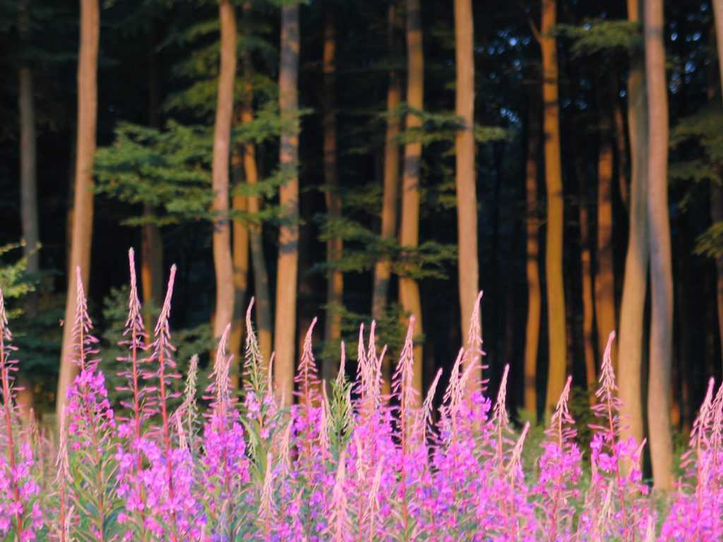 Digitales en forêt de Lyons © Mathilde Mortecrette Lyons Andelle Tourisme