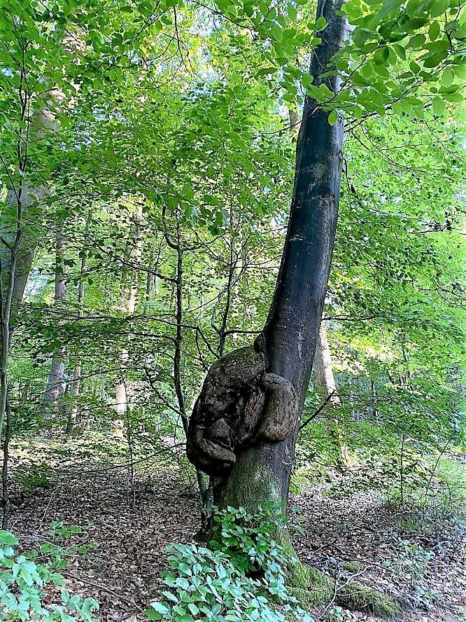 Atbre singulier en forêt de Lyons © Mathilde Mortecrette