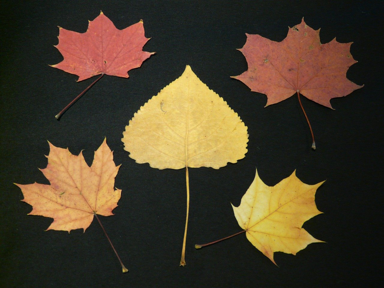 poplar-leaf-63225-1280.jpg